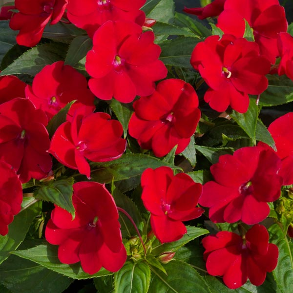 SunPatiens 'Fire Red'