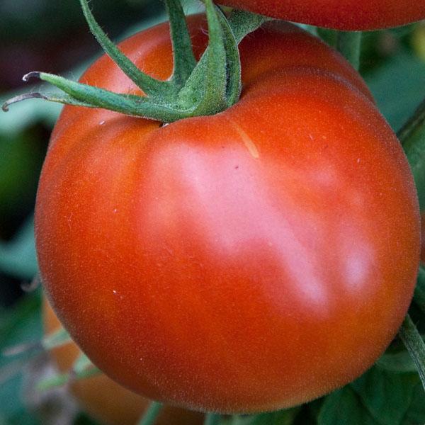 Tomato 'Celebrity'