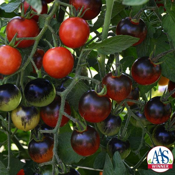 Tomato 'Midnight Snack' Cherry Tomato