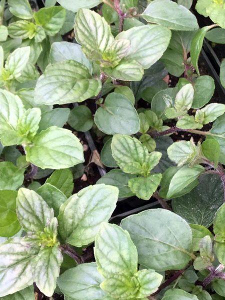 Mint 'Sweet Pear' (Mentha hybrid)