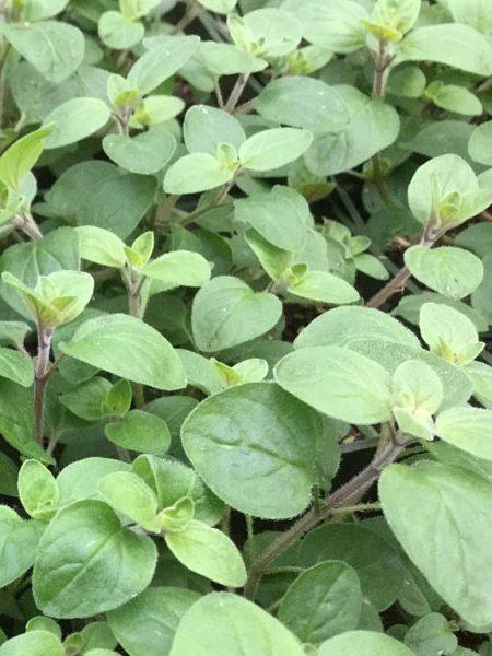 Oregano 'Supreme' (Origanum vulgare)