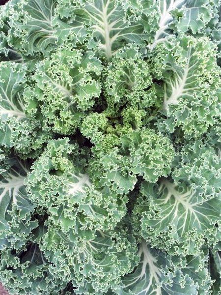 Kale 'Casper'