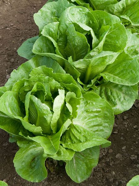 Lettuce 'Coastal Star' romaine