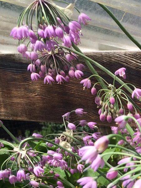 Allium cernuum Nodding Onion