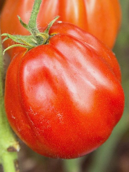 Heirloom Tomato 'Cuore di Bue'