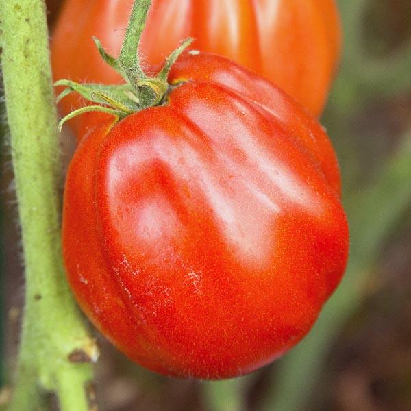 Heirloom Tomato 'Cuore di Bue'
