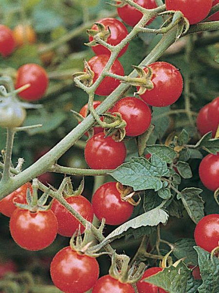 Tomato 'Matt's Wild Cherry' Grafted Mighty 'Mato