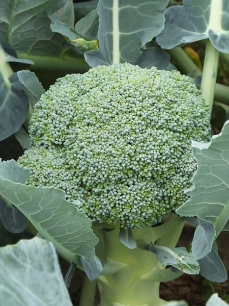 Broccoli 'Durapak' F1