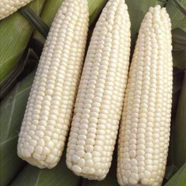 Corn 'Devotion White'