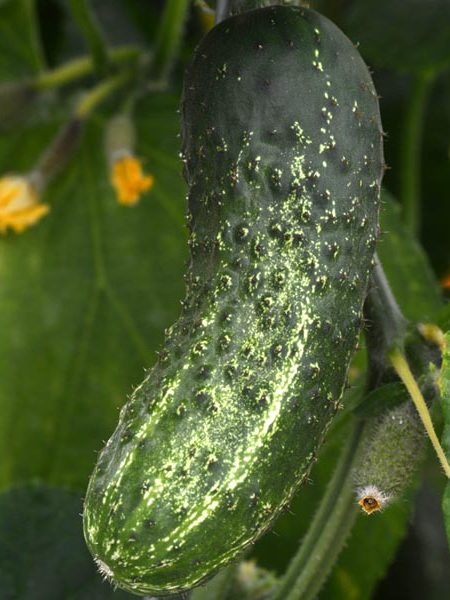 Cucumber 'GherKing' Pickling
