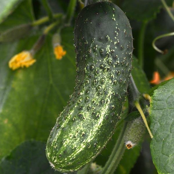 Cucumber 'GherKing' Pickling