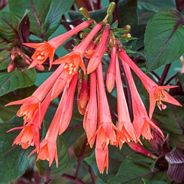 Upright fuchsia 'Gartenmeister'
