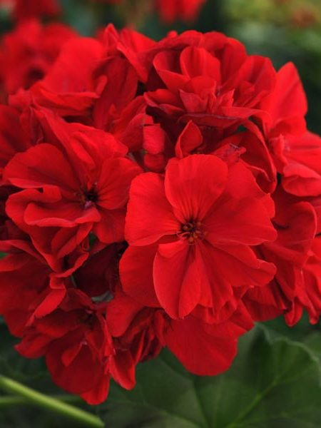 Zonal Geranium 'Fantasia Dark Red'