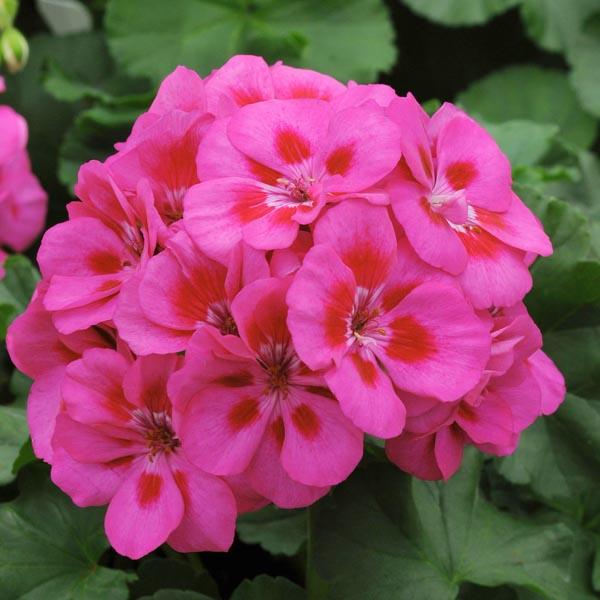 Zonal Geranium 'Fantasia Purple Sizzle'