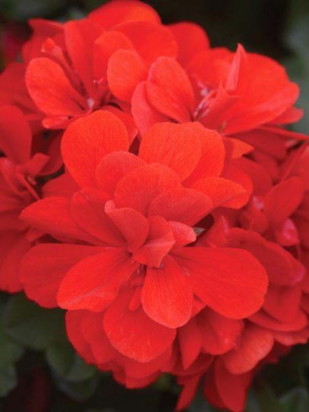 Ivy Geranium 'Focus Red'