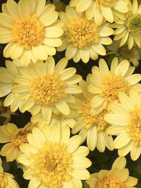 Osteospermum '4D Sunburst'