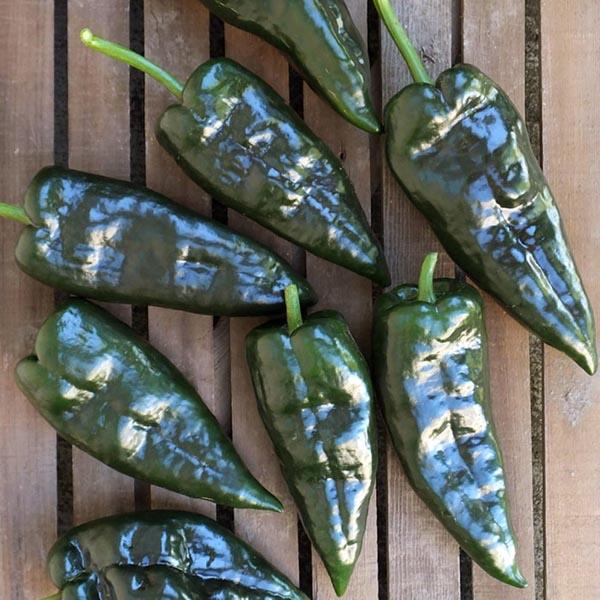 Pepper (Hot) 'Mosquetero'