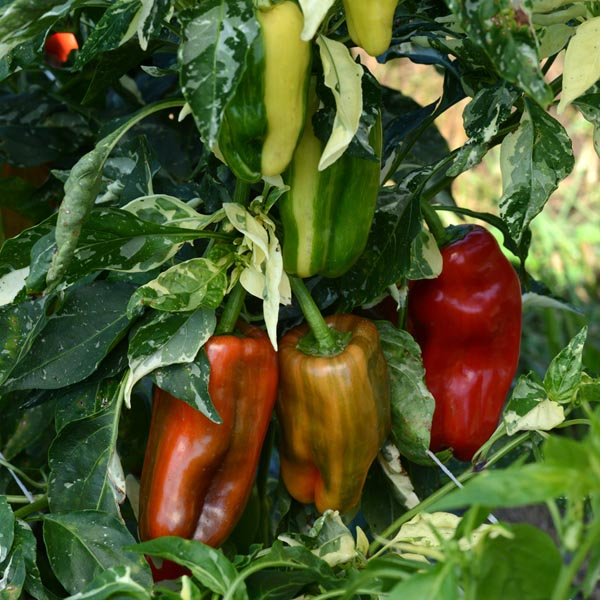 Pepper (Sweet) 'Candy Cane Red' Bell
