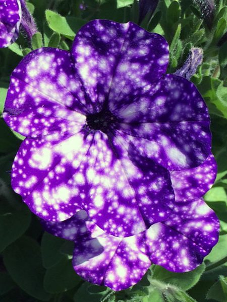 Petunia 'Headliner Night Sky'