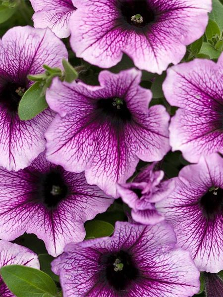 Petunia 'Supertunia Bordeaux'