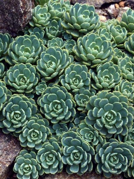 Sedum pachyclados (stonecrop)