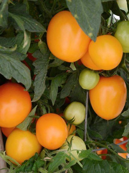 Tomato 'Sunrise' Sauce tomato