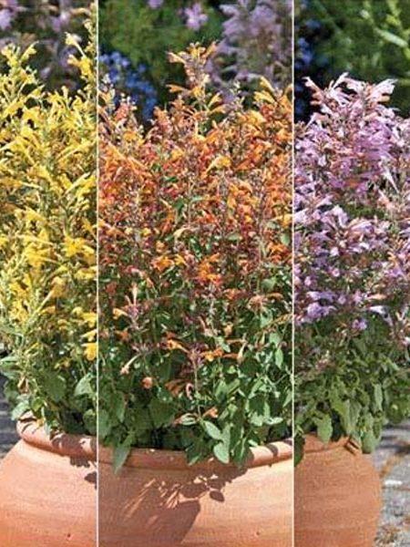 Agastache hybrida 'Arizona Mix'