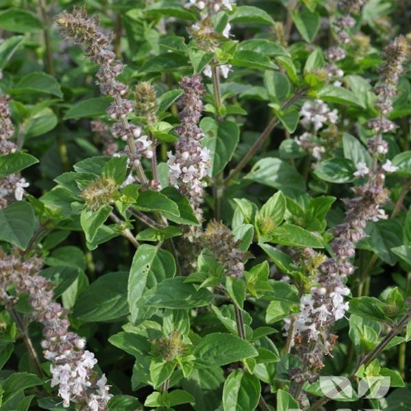 Basil 'Magic White' (Ocimum basilicum)