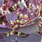 Euphorbia cotinifolia (Caribbean Copper Plant)