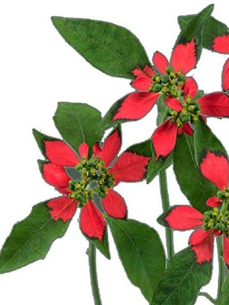 Euphorbia cyathophora 'Forix Bliss'