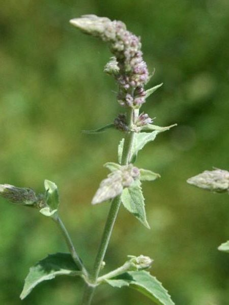 Mint 'Asian' (Mentha longifolia var. asiatica)