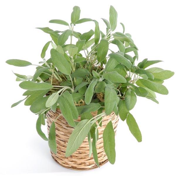 Sage 'Elephant Ear' (Salvia officinalis)