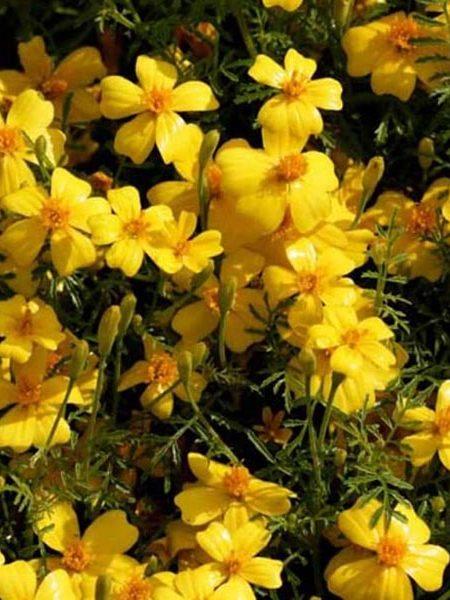 Tagetes tenuifolia 'Golden Gem' Marigold