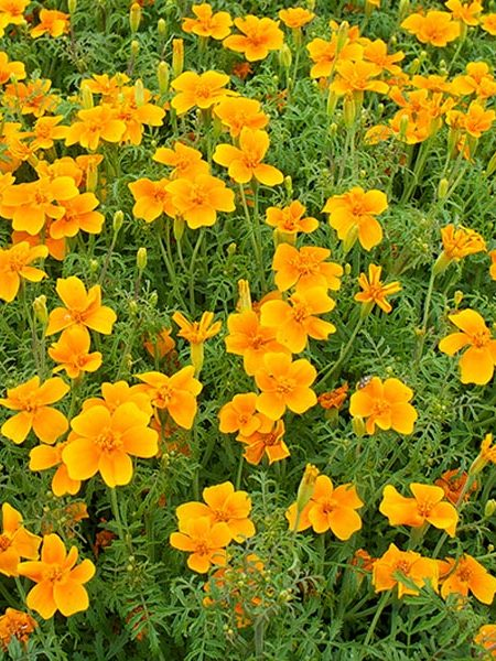 Tagetes tenuifolia 'Tangerine Gem' Marigold