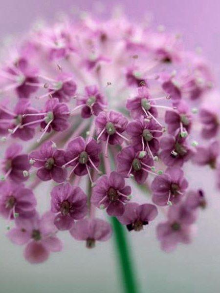 Didiscus coeruleus 'Lacy Pink'