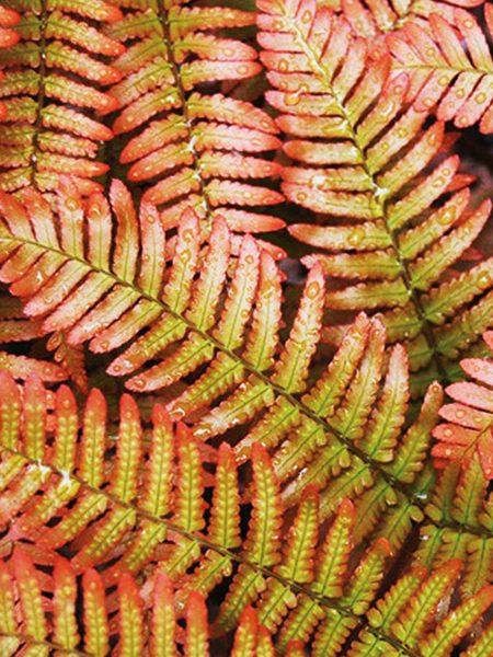 Dryopteris erythrosora Autumn Fern (hardy)