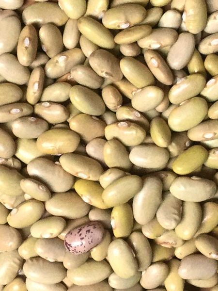 Heirloom Bean 'Peruano' Dry Bush Bean
