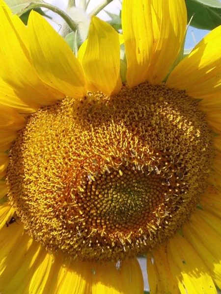 Helianthus annuus 'Mammoth Gray Stripe' Sunflower