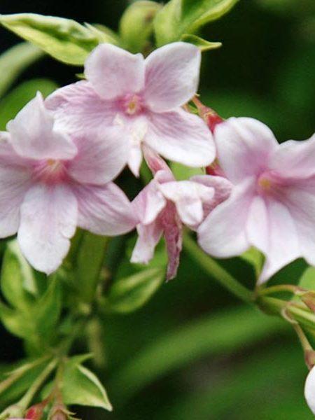 Jasminum stephanense Pink Jasmine