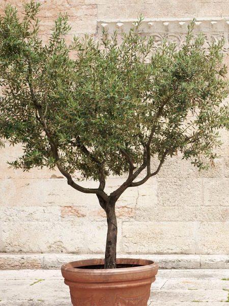 Olive 'Arbequina' Olea europaea