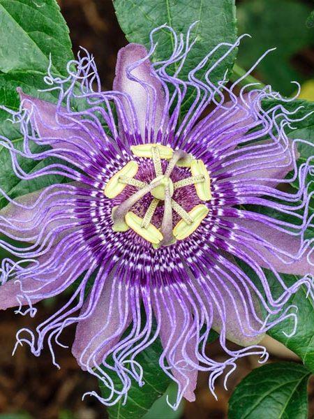 Passiflora incarnata (Maypop)