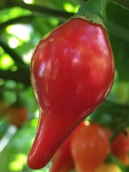 Pepper (Hot) 'Biquinho Red' Brazilian