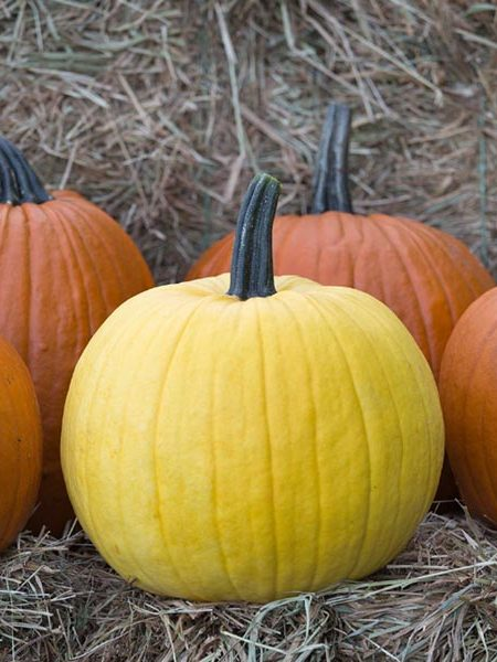 Pumpkin 'Mellow Yellow'