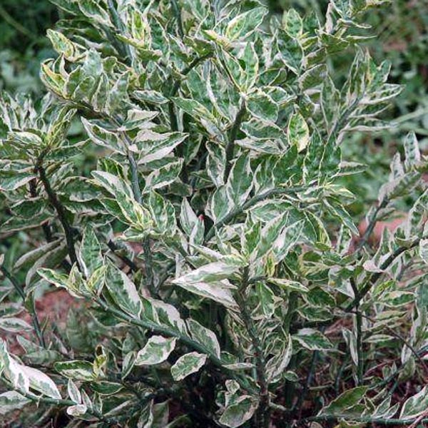Euphorbia tithymaloides ssp smallii 'Variegatus'