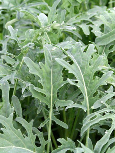 Kale 'Jagallo Nero'