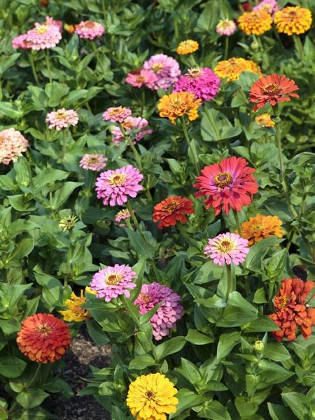 Zinnia elegans 'Jim Baggett's Choice Mix'