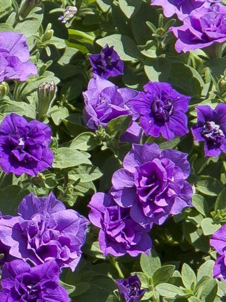 Petunia 'SweetSunshine™ Provence'
