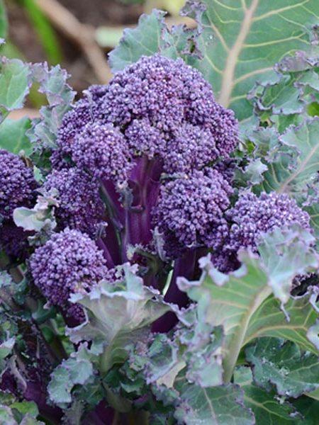 Broccoli 'Mendocino'