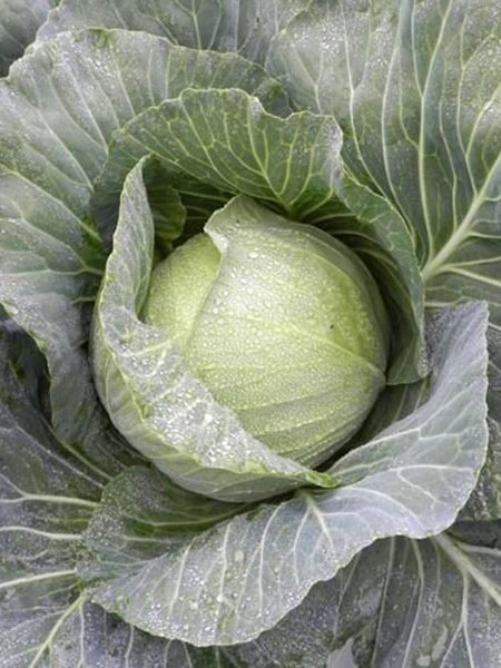 Cabbage 'Superstar'