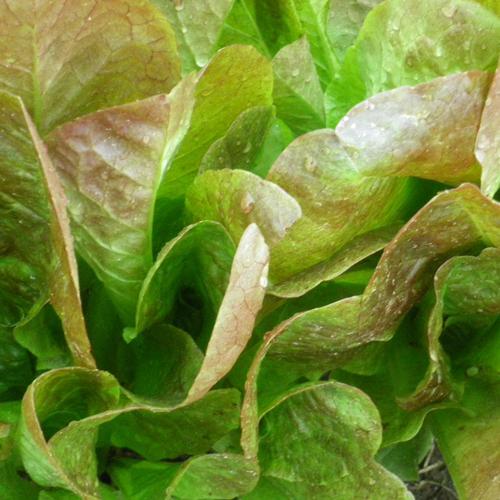 Lettuce 'Merveille des 4 Saisons' Butterhead